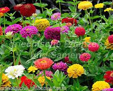 Zinnie Zinnia Zinnien mezcla de colores Flores cortadas 100 Semillas