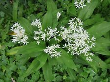 ☺25 graines d ail des ours. allium ursinum. garlic wildg