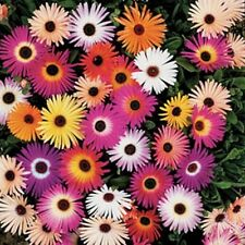 Ice Plant- Livingston Daisy- Mixed colors-  100 Seeds -    - BOGO 50% off SALE