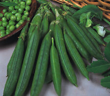 Vegetable Pea Douce Provence 100 seeds
