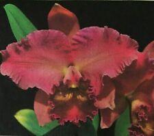 Live Orchid Plant Cattleya Pot. Cindy Yamamoto x Owen Holmes Carmela Fragrant