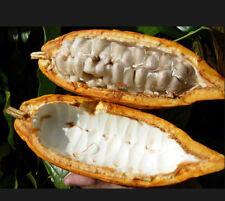 Cacoa, Cocoa 10+2 FREE Seeds Theobromacacao Chocolate Tree Exotic Tropical Seeds