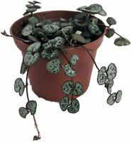 """SHIP FROM US String of Hearts - Hearts Entangled -Ceropegia woodii-2.5"""" Pot"""