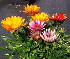 GAZANIA MIX Gazania Splenden - 1,000 Bulk Seeds