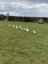 Aylesbury Duck Hatching Eggs