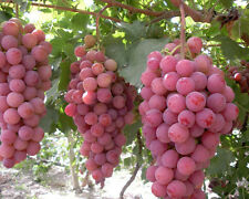 30+ FRESH Grape Seeds - Mixed Varieties - Malta Heirloom