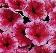 Petunia - Mirage Summer - 50 Seeds