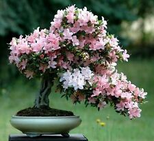 10pcs Rare Seeds Bonsai Sakura cherry Flower house Plants