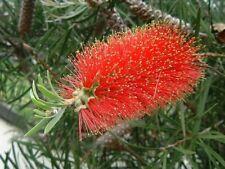 Callistemon rigidus Hardy Red Bottlebrush Seeds