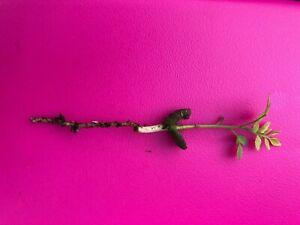 3  GAMTHI curry LEAF plant kadi patta murraya koenigii limdi seedlings