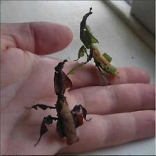 6 Ghost praying mantis Phyllocrania paradoxa L2 exotic pet insect predator bug