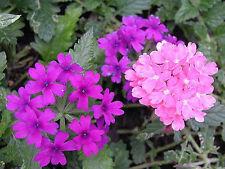 200 MOSS VERBENA Flower Seeds Pink&Purp *Gift & CombS/H