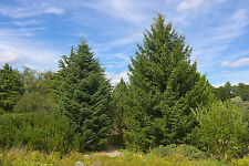 Abies cephalonica GREEK FIR Tree Seeds!