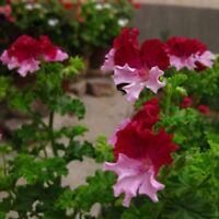 Rare Color Geranium Seed Perennial Flower Seeds Pelargonium Graveolens Flowers f