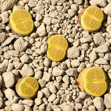 Lithops hallii 'Green Soapstone' 20 seeds