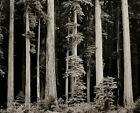 1960/72 Vintage ANSEL ADAMS Redwood Tree Forest Nature Landscape Photo Art 11X14
