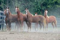 Chestnut Saddlebred Yearlings Photo Art Print Poster 24x36 inch