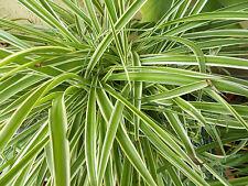 Spider plant reverse varigated 4 white-green-white starters for sale