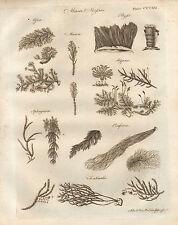 1797 GEORGIAN PRINT ~ MUSCI MOSSES FONTINALIS HYPNA SPHAGNUM MNIUM
