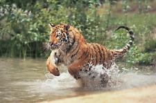 "Tiger- Wildlife Animals Photo Art - Canvas Giclee Print 24"" x36"""