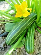 20+COCOZELLE ZUCCHINI SQUASH Organic Non-Gmo Italian Heirloom Garden/Container