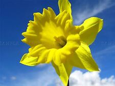 SUNNY YELLOW DAFFODIL SKY BRIGHT HAPPY ART PRINT POSTER PICTURE BMP413A