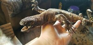 freeze dried rare mexican beaded lizard taxidermy racoon snake hunting snake