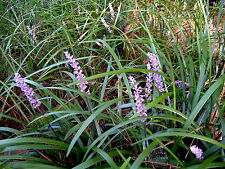 New listing 75+ Plants Liriope Spicata Monkey Grass Spreading Roots Bare Root Usda 4a to 10b