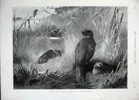 Original Old Antique Print 1896 Archibald Thorburn Birds Nature Grass Fine Art