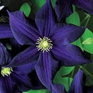 25 Dark Purple Clematis Seeds Bloom Flowers Perennial Flower Seed 128 US SELLER