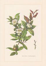 Mispel - Mespilus germanica schöner Farbdruck von 1959 botanical prints