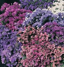 "50+ Statice ""Pacific Mix"" Flower Seeds / Annual / Great Gift/ Deer Resistant"