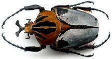 Coleoptera Cetonidae Goliathini Goliathus Mecynorrhina Goliathus cacicus 88 mm