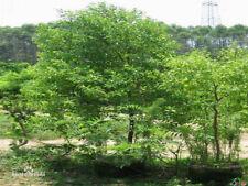 100 Santalum album Samen, weisser Sandelholzbaum, indian sandalwood