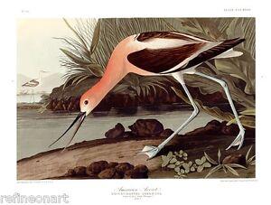 John James Audubon American Avocet Giclee Canvas Print