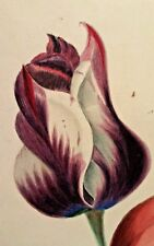 1800's HAND PAINTED Or PRINTED TULIPS  VERY DETAILED FLORAL
