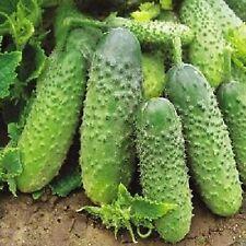 Cucumber Seeds - Autumn Gift - Organically Grown Russian Heirloom NON GMO