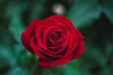 Rare Red Rose Bush 50++ Seeds -  Beautiful & Exotic perennial flowers !