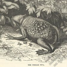 Suriname/Star-Fingered Toad: antique 1866 engraving print: animal amphibian frog