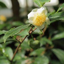 50 graines de THEIER (Camellia Sinensis)TEA PLANT SEEDS SAMEN SEMILLAS SEMI