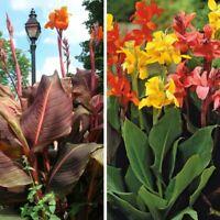 10pcs Canna Lily Flower Seeds Mixed Perennial Beautiful Bonsai Plant Home Garden