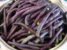 85 Royal Burgundy Bush Bean Seeds, Free Shipping, Heirloom, Fun For Kids non-gmo