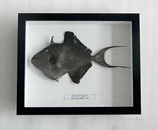 Real Frame Fish Taxidermy Red-toothed triggerfish- Odonus niger