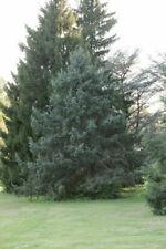 Spruce bent (Picea retroflexa) 50 seeds