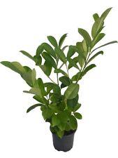 5 Cherry Laurel Hedging - 2L Pots - 40-60cm - Bushy - Evergreen Plants