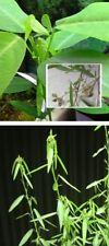 Tanzbaum Stecklinge große immergrüne Zimmerpalme blühende Pflanzen für drinnen