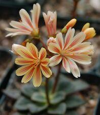 Lewisia cotyledon var purdyi x 20 fresh seeds