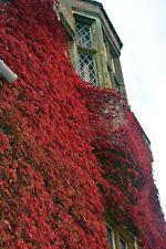 50PCs Seeds Rare Red Boston Ivy Perennial Home Garden