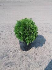 Globe Arborvitae ( Thuja ) - Live Plant - 1 gallon Pot