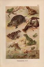 1899 MARTIN CHROMOLITHO garlic toad, frogs, crawfish, tadpoles, pond turtle, ...